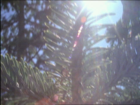 point of view thru pine trees - pinacee video stock e b–roll