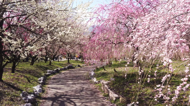 point of view, walking through park of cherry blossoms - oriental garden stock videos and b-roll footage