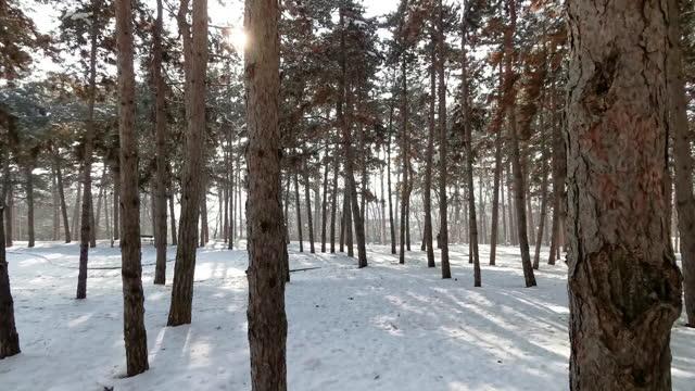 日の出に松林を歩いているところ。 - winter点の映像素材/bロール
