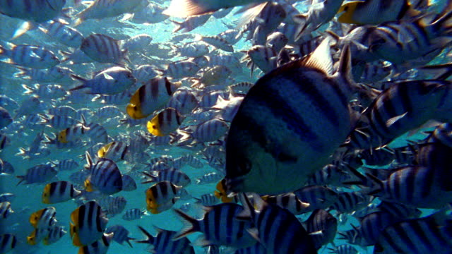 Point of view wide shot school of black and white striped fish swimming