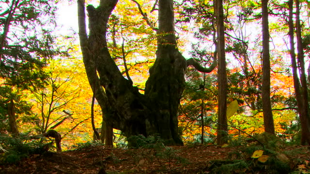 Point Video with overlap technique The giant beech tree stands in the forest as foliage changes with the seasons from early summer to fall