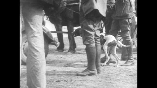 pointer dog 'sulu' walking on lead past people's legs, back to standing w/ other pointers. men exchanging paper money. - rassehund stock-videos und b-roll-filmmaterial