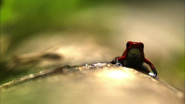A poison dart frog hops off a wet log.