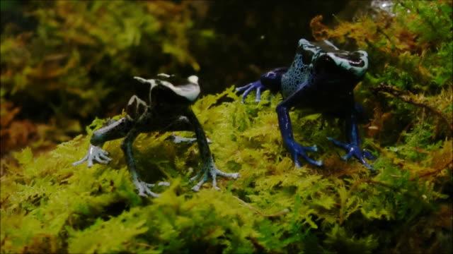 vídeos de stock e filmes b-roll de rã dardo venenosa - dois animais