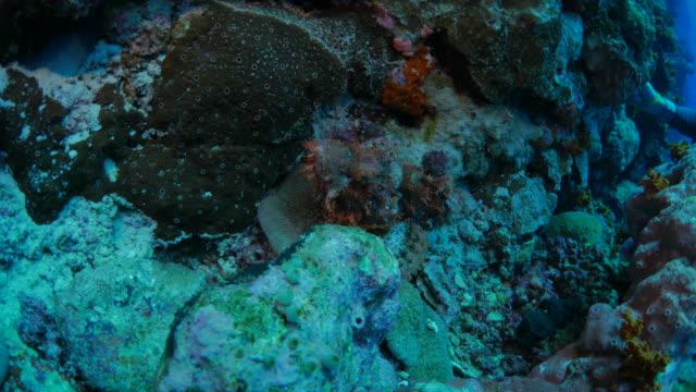 Giftige Steinfische, die versteckt in Unterwasser Riff