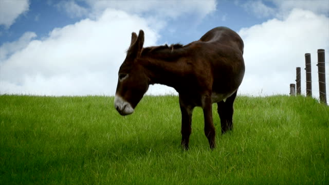 poitou donkey - donkey stock videos & royalty-free footage
