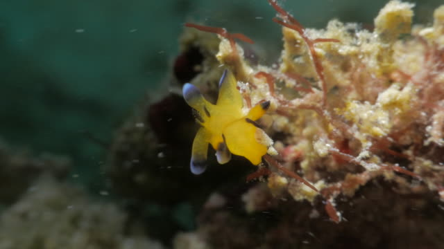 pokemon nudibranch (pikachu) crawling in coral reef (4k) - nudibranch stock videos & royalty-free footage
