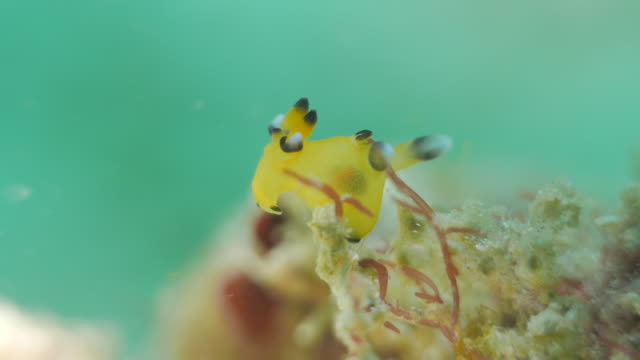 pokemon nudibranch (pikachu) undersea (4k) - nudibranch stock videos & royalty-free footage