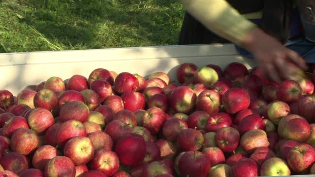 vídeos y material grabado en eventos de stock de poland is the worlds leading exporter of apples and it's being hit hard by a russian ban on fruit and vegetables leveled in retaliation over eu... - venganza