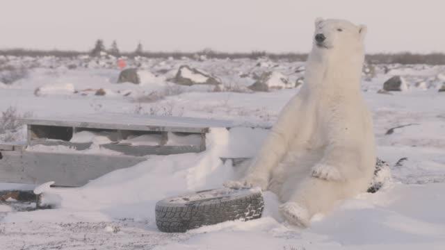 polar bear amongst rubbish, canada - sitting点の映像素材/bロール