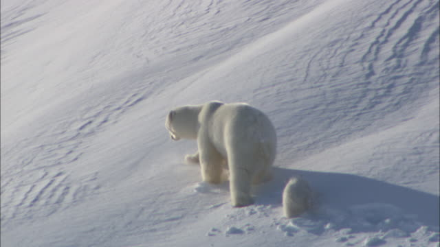 A polar bear and a cub walk on a snowy slope in Svalbard, Arctic Norway.