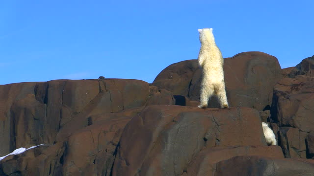 Polar bear and cub, climbing down rock, Svalbard, Norway