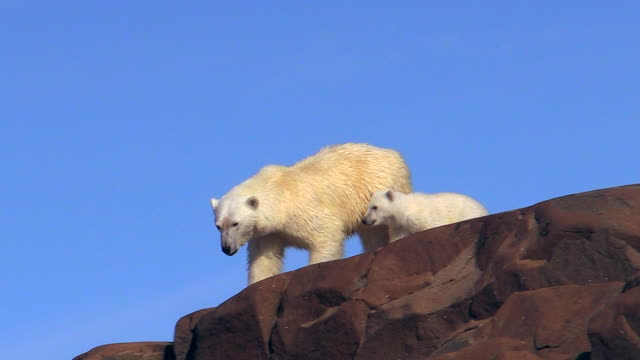 stockvideo's en b-roll-footage met polar bear and cub, climbing down rock, svalbard, norway - dierenfamilie