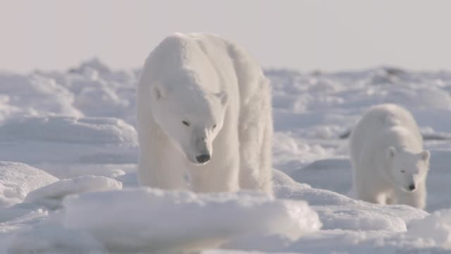 stockvideo's en b-roll-footage met polar bear and cub on sea ice, canada - welp