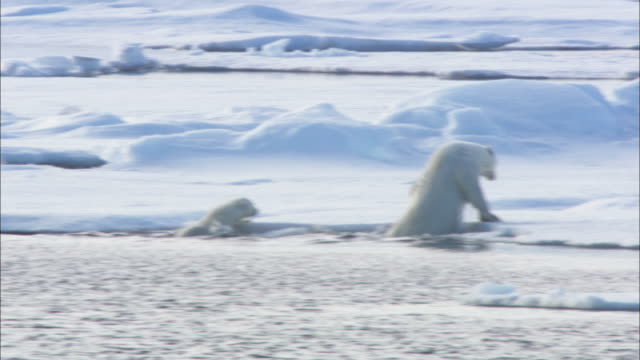 a polar bear and cubs clamber onto sea ice in svalbard, arctic norway. - ホッキョクグマ点の映像素材/bロール
