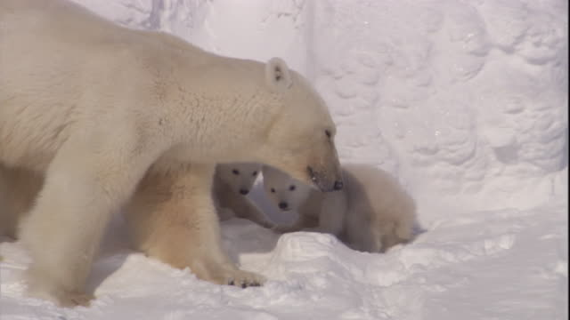 vídeos de stock e filmes b-roll de a polar bear and cubs play on snow on svalbard, norway. - filhote de animal