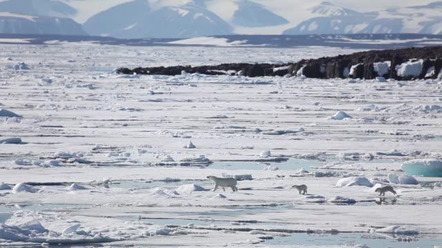 polar bear and cubs - eisbär stock-videos und b-roll-filmmaterial