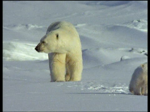 polar bear and cubs walk and run over snow towards camera, arctic - carefree stock videos & royalty-free footage