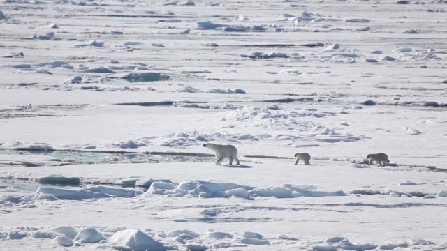 stockvideo's en b-roll-footage met polar bear and cubspolar bear and cubs - ijsbeer