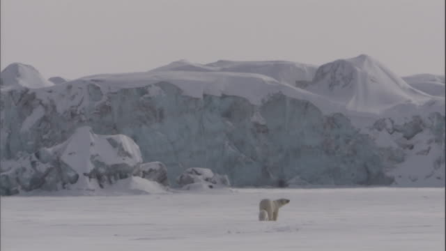 a polar bear and her cub trudge across a snowy field in svalbard, norway. - bear cub stock videos and b-roll footage