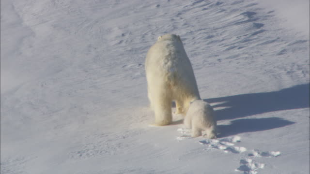 A polar bear and her cub walk on a snowy slope in Svalbard, Arctic Norway.