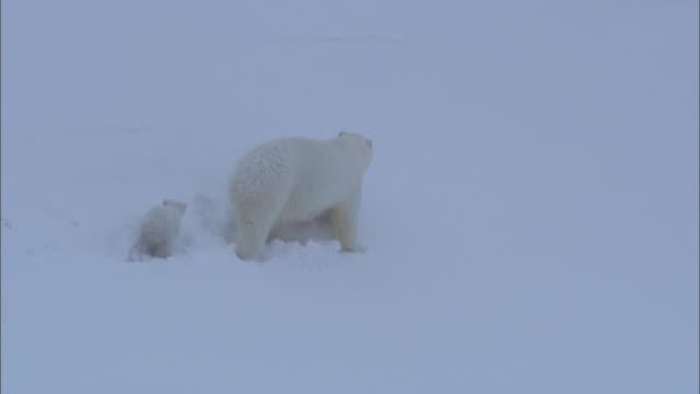 vídeos de stock e filmes b-roll de a polar bear and her cub walk on a snowy slope near svalbard, arctic norway. - clima polar
