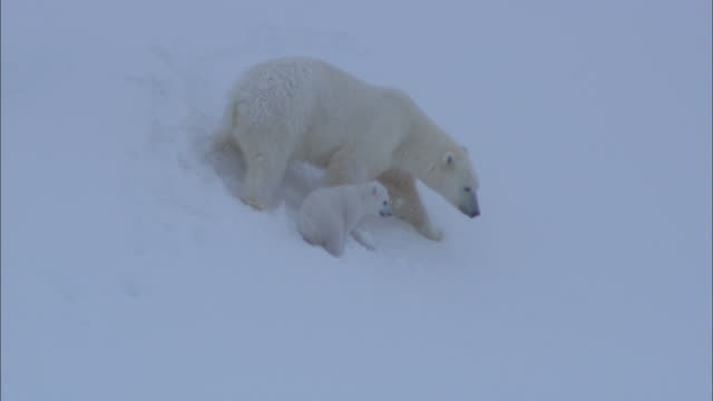 a polar bear and her cub walk on a snowy slope on svalbard, arctic norway. - bear cub stock videos and b-roll footage