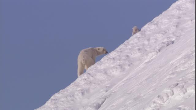 a polar bear and her cub walk over a snowy ridge on svalbard, norway. - bear cub stock videos and b-roll footage