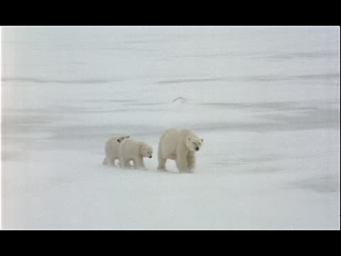 a polar bear and her cubs amble across a frozen landscape. - 水の形態点の映像素材/bロール