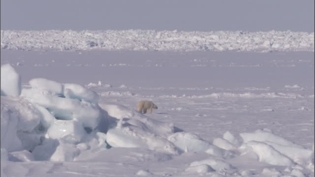 a polar bear and her cubs cross an ice sheet in svalbard, norway. - ice sheet stock videos and b-roll footage
