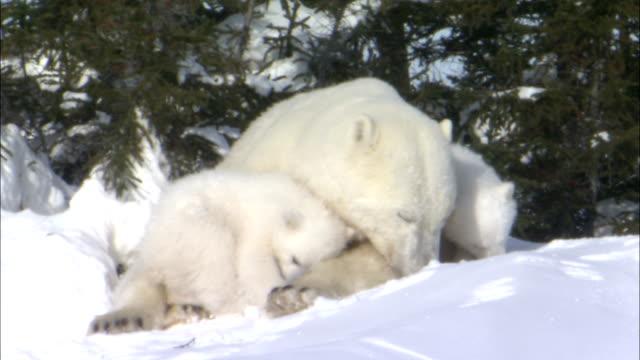 a polar bear and her cubs interact on a snowy knoll. - bärenjunges stock-videos und b-roll-filmmaterial
