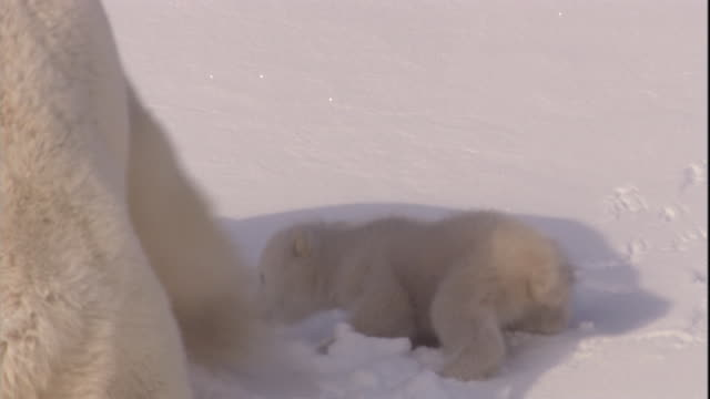 A polar bear and her cubs play on the snow on Svalbard, Norway.