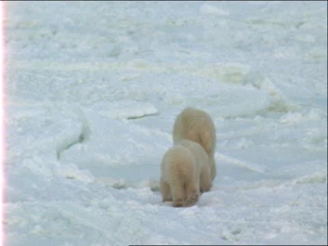 a polar bear and her cubs walk along snowy terrain. - 水の形態点の映像素材/bロール