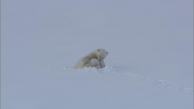 vídeos de stock e filmes b-roll de a polar bear and its cub rest in a snowy landscape in svalbard, norway. - clima polar