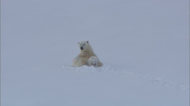 A polar bear and its cub rest in snow on Svalbard, Norway.