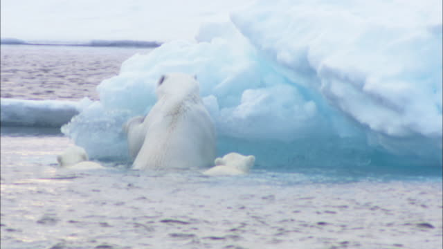a polar bear and its cubs clamber out of the arctic ocean and onto an iceberg in svalbard, norway. - polarklima stock-videos und b-roll-filmmaterial