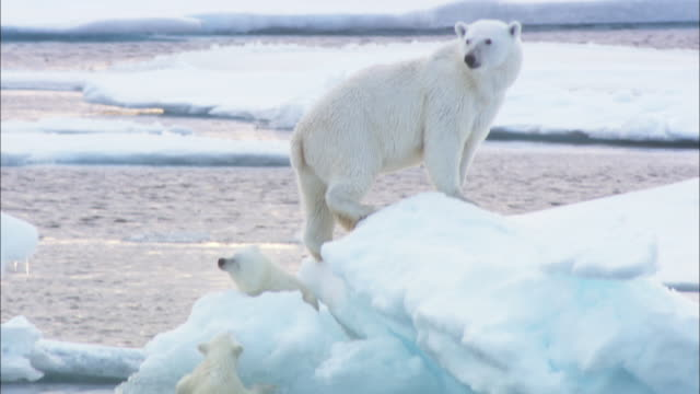A polar bear and its cubs clamber out of the Arctic Ocean and onto an iceberg in Svalbard, Norway.