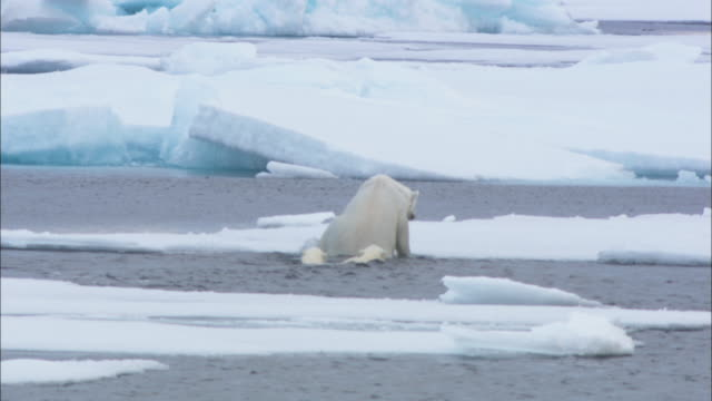 A polar bear and its cubs clamber out of the Arctic Ocean and onto an ice floe in Svalbard, Norway.