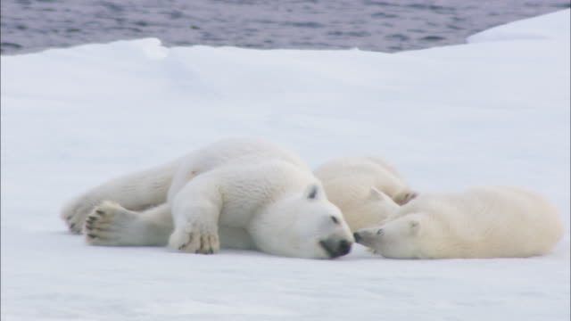 a polar bear and its cubs roll in the snow in svalbard, norway. - raubtier stock-videos und b-roll-filmmaterial