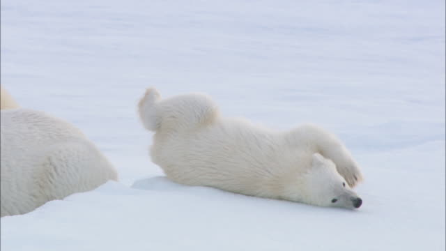 A polar bear and its cubs roll on the ice in Svalbard, Norway.