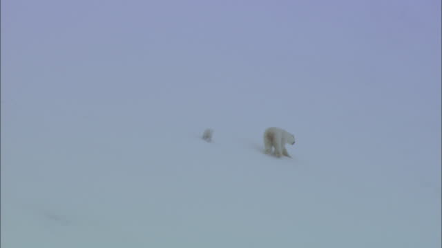 a polar bear and its cubs walk down a snowy slope in svalbard, arctic norway. - bärenjunges stock-videos und b-roll-filmmaterial