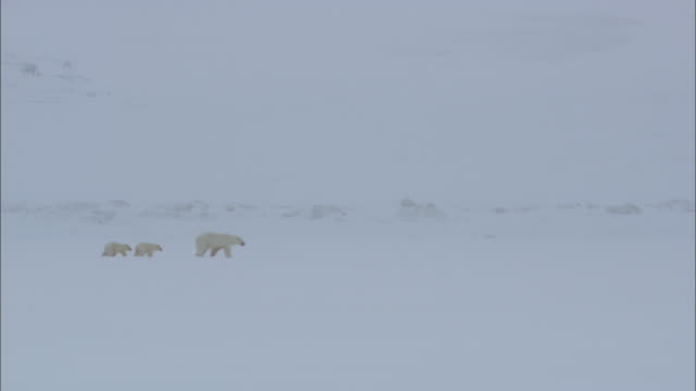 A polar bear and its cubs walk on a snowfield in Svalbard, Arctic Norway.