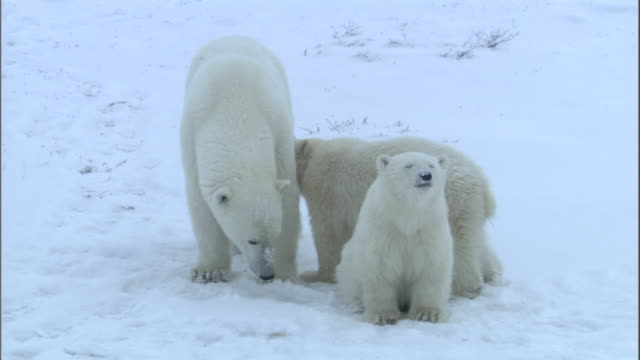 a polar bear and its two cubs stand in snow in churchill, canada. - raubtier stock-videos und b-roll-filmmaterial