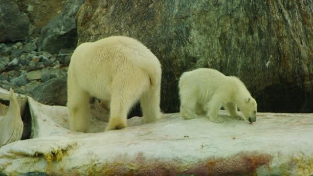 vídeos de stock e filmes b-roll de polar bear and small cub eat blubber from rotting sperm whale carcase - cetáceo
