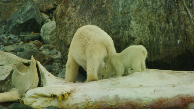 polar bear and small cub eat blubber from rotting sperm whale carcase - cetacea stock videos & royalty-free footage
