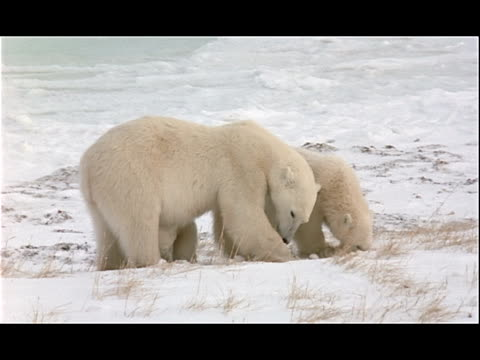 a polar bear and two cubs dig in the snow. - 水の形態点の映像素材/bロール