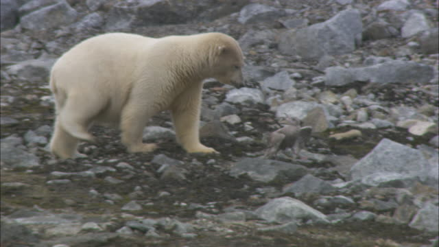 polar bear attacks injured skua, svalbard, arctic norway. - svalbard islands stock videos & royalty-free footage
