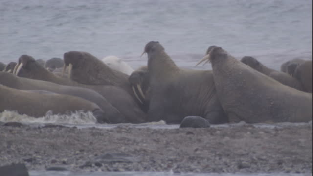 polar bear attacks walruses in the surf. available in hd. - ホッキョクグマ点の映像素材/bロール