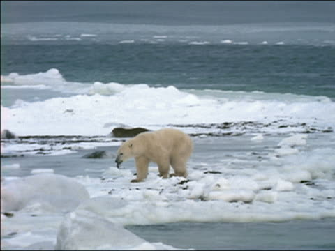 WS, PAN polar bear catching fish on icy shore