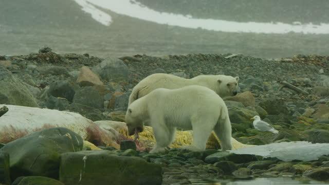 polar bear chews blubber from rotting sperm whale carcase with second bear watching - kleine gruppe von tieren stock-videos und b-roll-filmmaterial